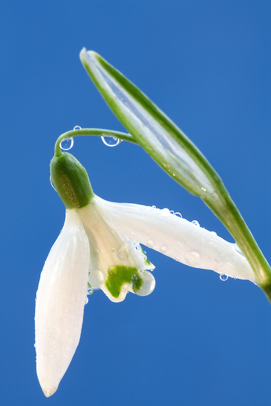 Snowdrop (Galanthus 'Magnet'} with dew. Wilsonville, Oregon