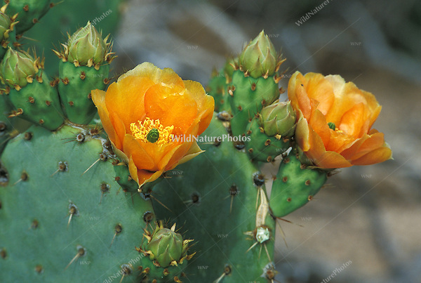Engelmann's Prickly Pear, Opuntia phaeacantha discata, in bloom; Sonoran Desert, Arizona