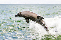 Dolphins Pine Island Sound Florida