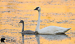 Trumpeter swan with cygnet. National Elk Refuge, Wyoming.