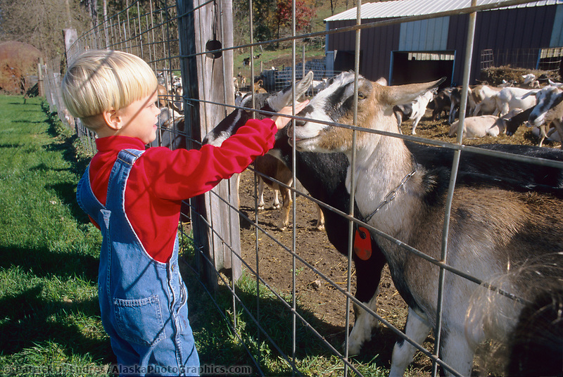 Young boy pets goats at farm in New Glarus, Wisconsin.,