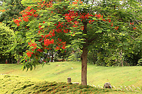 A beautiful spectacular Gulmohar or royal poinciana tree loaded with beautiful orange flowers in summer standing in the middle of a lush green grassland