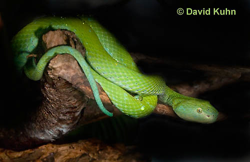 0429-1101  Mexican Palm Pitviper (Rowley's Palm Pit Viper), Very Rare Mexican Snake, Bothriechis rowleyi  © David Kuhn/Dwight Kuhn Photography