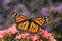 MONARCH BUTTERFLY (Danaus plexippus) in summer rain shower in a backyard garden.  Nova Scotia, Canada.
