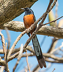 White-rumped shama (Copsychus malabaricus) photographed on the north shore of Kauai, in Princeville, HI. These birds are native to India and Southeast Asia and were brought to Kauai in 1931 from Malaysia. They are prized for their distinctive, complex and beautiful song.