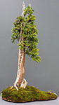 Cedar (Thuja occidentalis) bonsai<br /> Pacific Bonsai Museum, Federal Way, Washington