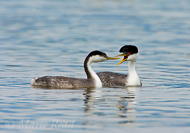 Western Grebes (Aechmophorus occidentalis) pair swimming, one calling, Kern County, California, USA<br /> (Digitally retouched image - distracting objects removed)