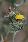 304-DK Centaurea melitensis, Yellow Star Thistle