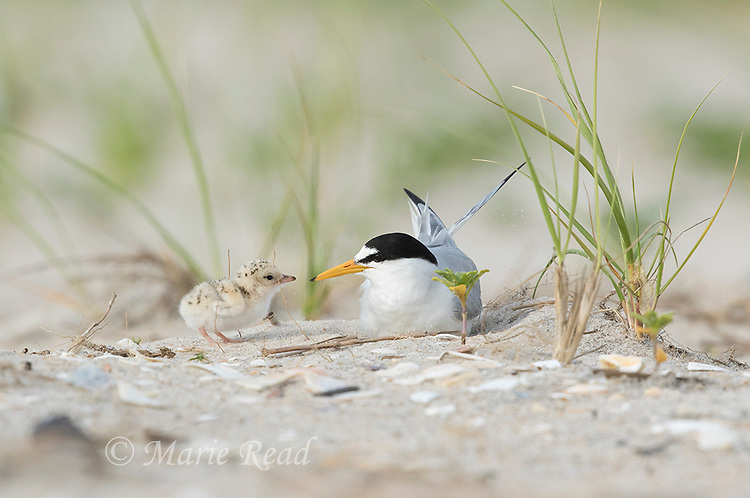 Least Tern (Sterna antillarum) adult with chick at nest, Nickerson Beach, Long Island, New York, USA