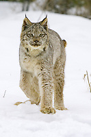 Canada Lynx walking across a snowy field - CA