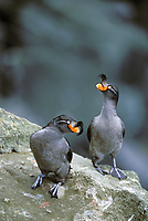 Crested Auklets, St. Paul Island, Pribilof Islands, Alaska.