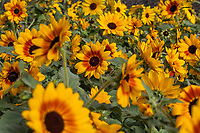 Sunflowers - Sunfinity™ Yellow-Red Bicolor Helianthus hybrida; Syngenta Flowers