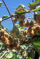 Actinidia Kiwi fruits