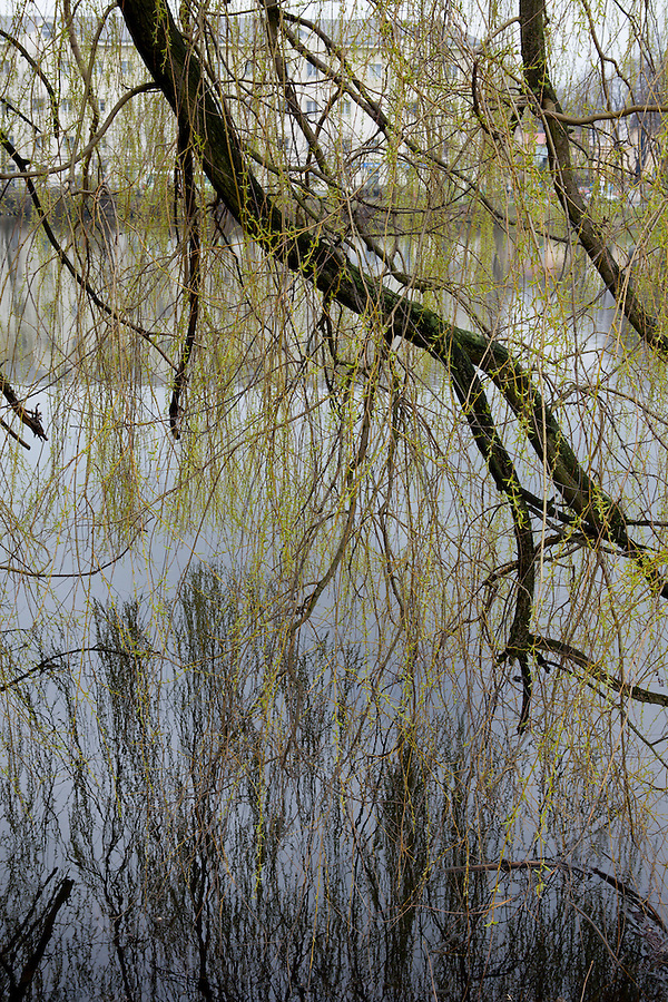 Trunk and branches of a weeping willow tree in spring, on a lake in southern Bohemia, Czech Republic, Europe