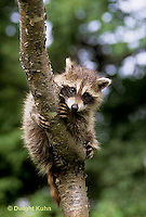 MA25-153z  Raccoon - young raccoon exploring, climbing tree  - Procyon lotor