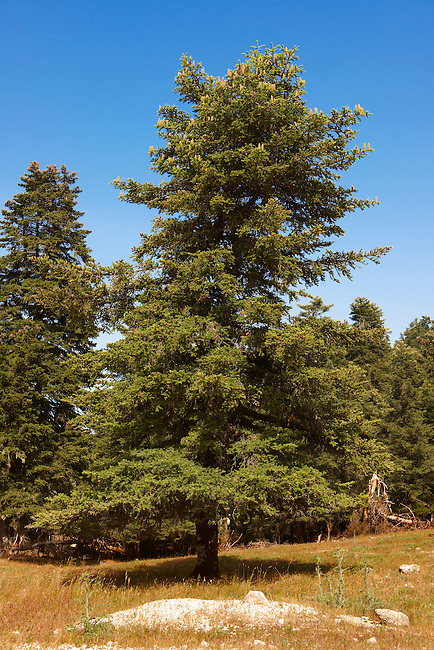 The protected Cephalonia Pine trees of Mount Ainos, Kefalonia, Ionian Islands, Greece.