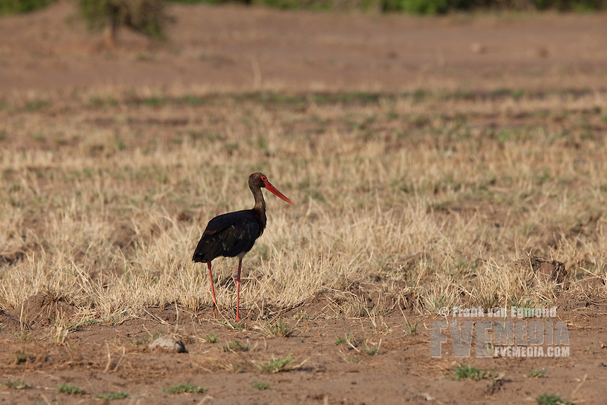 Black stork (Ciconia Nigra)...Mashatu Game Reserve..Tuli block, Botswana..November 2010.