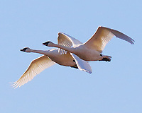 Pair of adult trumpeter swans