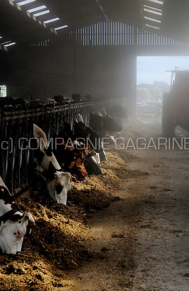 "cows in ""la Ferme d'Alvaux"", a farm in Perwez (Belgium, 25/05/2008)"