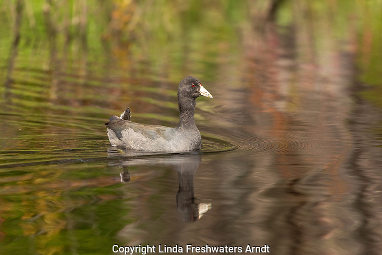 American coot swimming in a wilderness lake in northern Wisconsin.