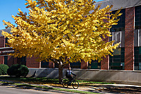 Student riding bicycle under gingko tree.<br />