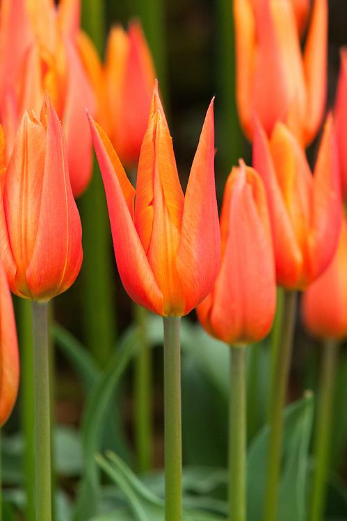 Tulipa 'Ballerina', Lily-flowered Group.