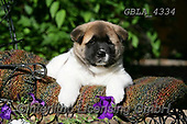 Bob, ANIMALS, REALISTISCHE TIERE, ANIMALES REALISTICOS, dogs, photos+++++,GBLA4334,#a#, EVERYDAY