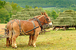 Nippenose Valley. Stolfus Amish family. Making hay. Mules.