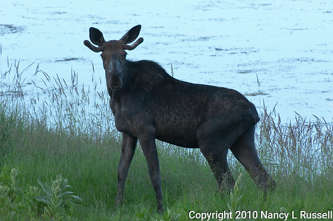 Young female moose at Kootenai National Wildlife Refuge