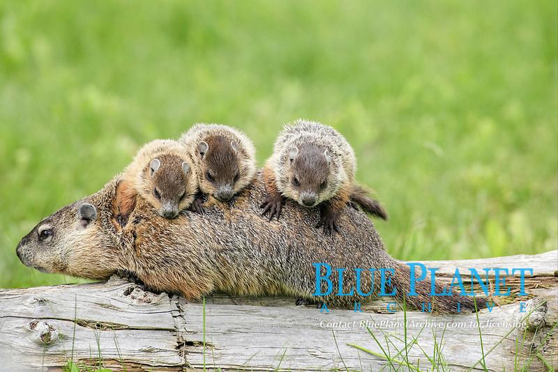 Woodchuck (Marmota monax), adult, carrying three young on back, Minnesota, USA, North America
