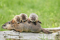 Woodchuck (Marmota monax), adult, carrying three young on back, Minnesota, USA, North America