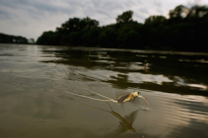 Mayfly (Palingenia Longicauda) is swarming in the river Tisza, Hungary, June 2009.