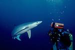Blue Shark_w_Photographer; Prionace glauca