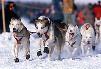Sled Dogs, Iditarod Race, Alaska