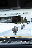 USA, Wyoming, Yellowstone National Park, frosty bison walk along the road near Indian Creek, Gardners Hole