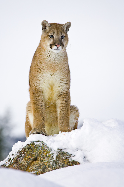 Puma sitting and watching intently from the top of a snowy rocky hill - CA