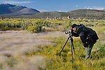 Photographer taking pictures of Alkali Muhly (Muhlenbergia asperifolia) Scratchgrass on the South Shore, Mono Lake, Mono County, Eastern Sierra, California