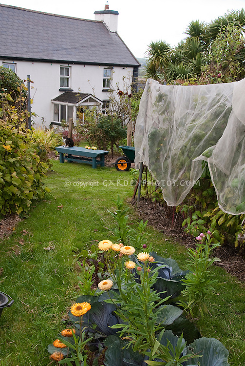 Protecting plants berries fruit from birds and animals with netting arbor, house, cat, wheelbarrow, cabbages, helichrysum strawflowers, lawn grass, garden bench, in Joy Larkcom's garden, Ireland