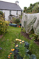 Protecting plants raspberries fruit from birds and animals with netting arbor, house, cat, wheelbarrow, cabbages, helichrysum strawflowers, lawn grass, garden bench, in Joy Larkcom's garden, Ireland