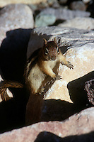 RODENTS<br /> Chipmunk Showing Its Claws