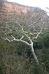 Gum Tree, Ranthambhore National Park; Rajasthan