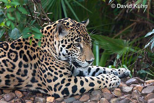 0615-1104  Jaguar, Belize, Panthera onca  © David Kuhn/Dwight Kuhn Photography
