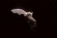 Franjestaart vleermuis (Myotis nattereri), vliegend.