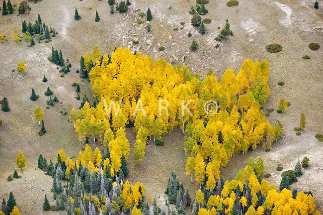 Aspens on barren slope. Colorado
