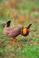 BG366  Male Attwater's Prairie chicken displaying.  Attwater Prairie Chicken National Wildlife Refuge, Texas.