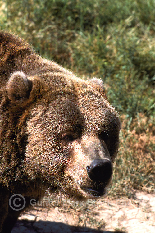 Kodiak Bear aka Alaskan Grizzly Bear and Alaska Brown Bear (Ursus arctos middendorffi)