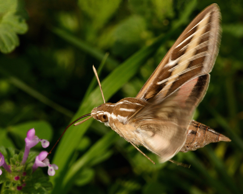 Sphinx Moths emerge at dusk from their hiding places and begin feeding on the nectar of flowers. Their size, combined with their rapid wing beats, allows them to hover and feed in the manner of hummingbirds, for which they are sometimes mistaken.