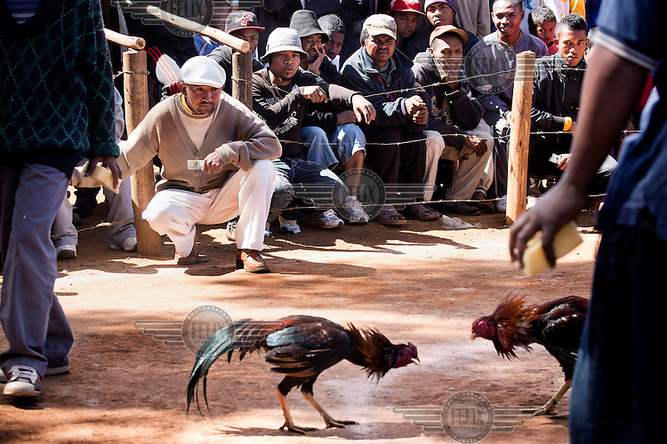 An engrossed crowd watch as two cocks fight.