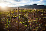 BAJA CALIFORNIA - NOVEMBER 26, 2013:  A vineyard in Baja California's Valle de Guadalupe wine region. Residents and wineries in Mexico's wine country are protesting the mayor's relaxing of zoning regulations they say will lead to a drastic change in the culture of  the popular tourist destination.  CREDIT: Max Whittaker for The New York Times