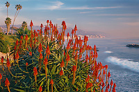 Tree aloe<br />